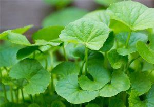 Góc chia sẻ: Đắp rau má bao lâu thì hết sẹo?